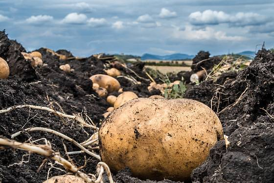 Přišel čas sklizně brambor.