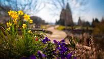 Žluté narcisky patří neodmyslitelně k jaru.