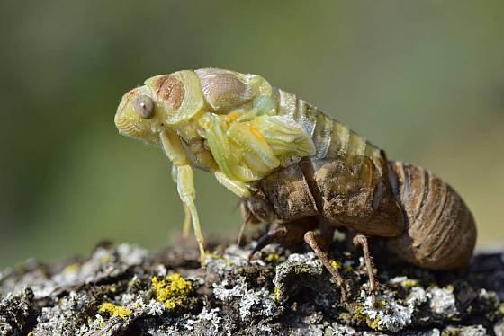 Cikáda obecná (Lyristes plebejus), líhnutí.
