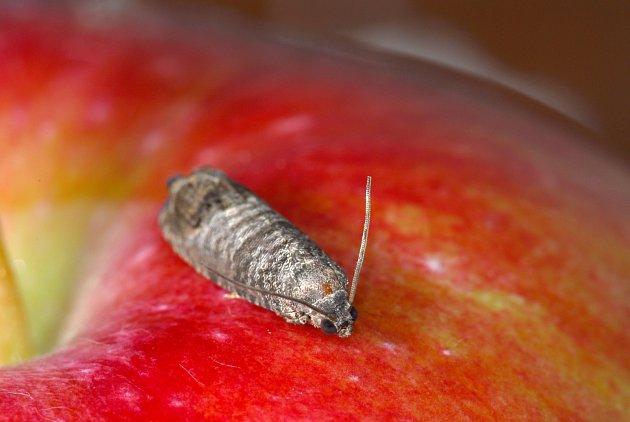 dospělec obaleče jablečného