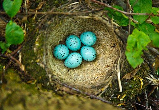 hnízdo drozda zpěvného