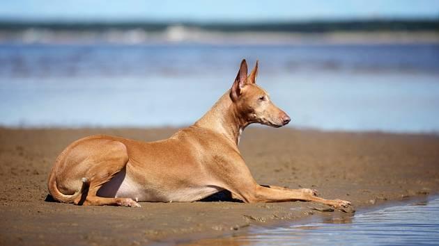 Faraónský pes - velmi staré plemeno, jehož malby známe již ze starověkého Egypta.