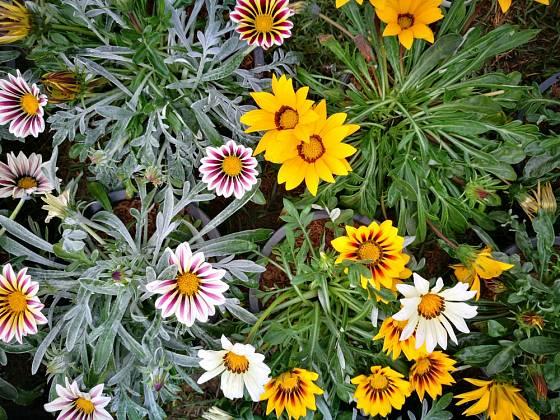 Gazánie zářivá (Gazania splendens) s různě zbarvenými listy.