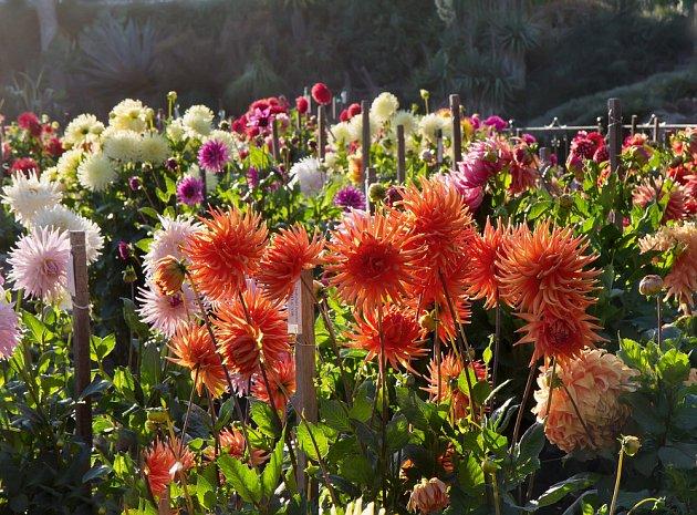 Podzimní zahrada je díky jiřinám plná barev