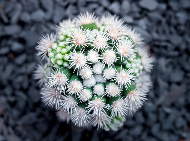 kaktus Mammillaria vetula gracilis