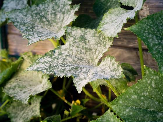 Padlí okurkové se na listech okurek i cuket projevuje stejně