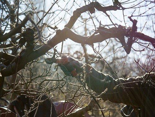 Všechny mrtvé, nemocné, suché nebo jinak poškozené větve likvidujte pravidelně.