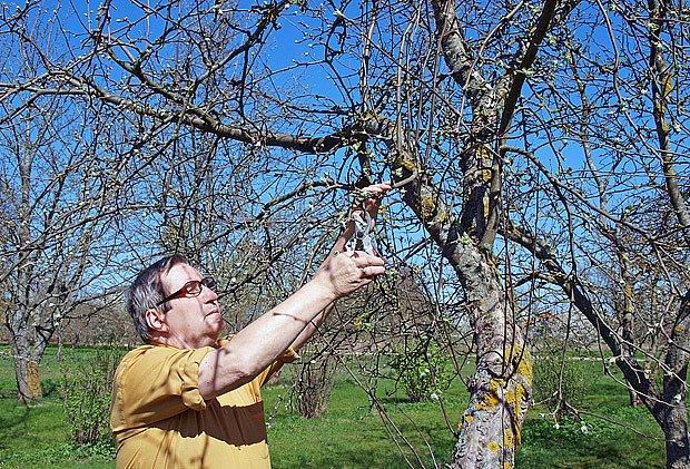 Příliš razantní zmlazování starých jabloní může uškodit