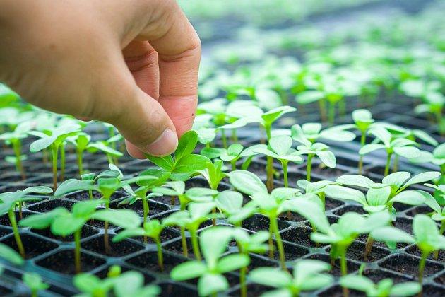 Dobře rostlé sazenice můžete zasadit i počátkem léta.