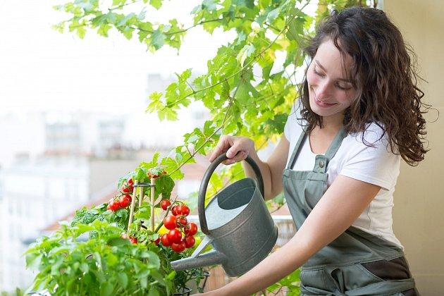 Příliš mnoho vody nebo naopak málo vody může být další příčinou žlutých listů rajčete.
