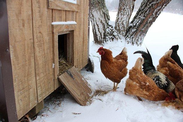 V zimních měsících si slepice slunce moc neužijí, proto byste jim měli v kurníku svítit.