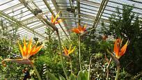 Strelície královská (Strelitzia reginae) se často pěstuje ve sklenících botanických zahrad.