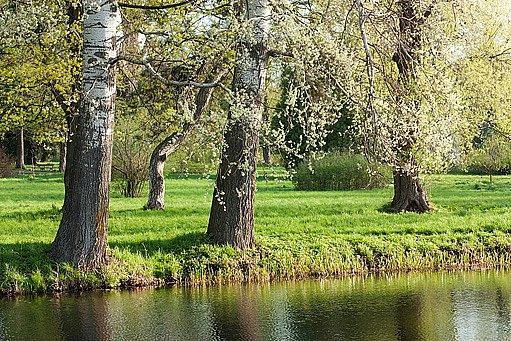 topoly často lemují břehy vod