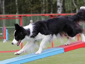 Border kolie patří k učenlivým psím plemenům.