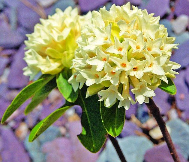 Lýkovec jugoslávský (Daphne blagayana), zvaný též blagajský.