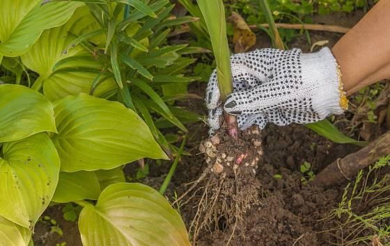Na podzim hlízy gladiol vyjmeme z půdy.