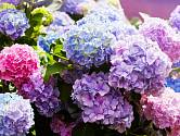 pH půdy či substrátu ovlivňuje barvu květů hortenzie