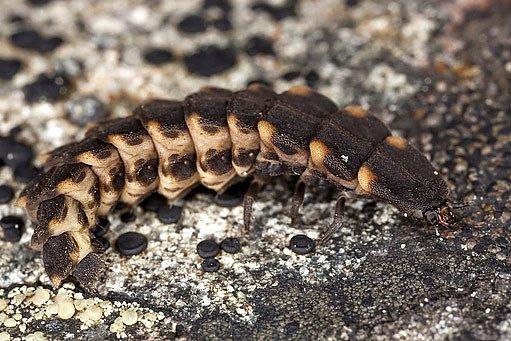 larva světlušky větší