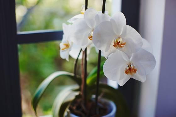 Phalaenopsis patří mezi nejméně náročné orchideje