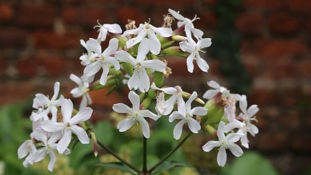 Květenství mydlice lékařské