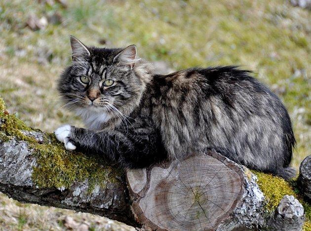Norská lesní kočka.