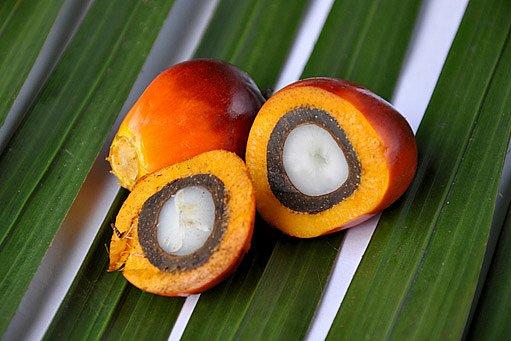 plod palmy olejné