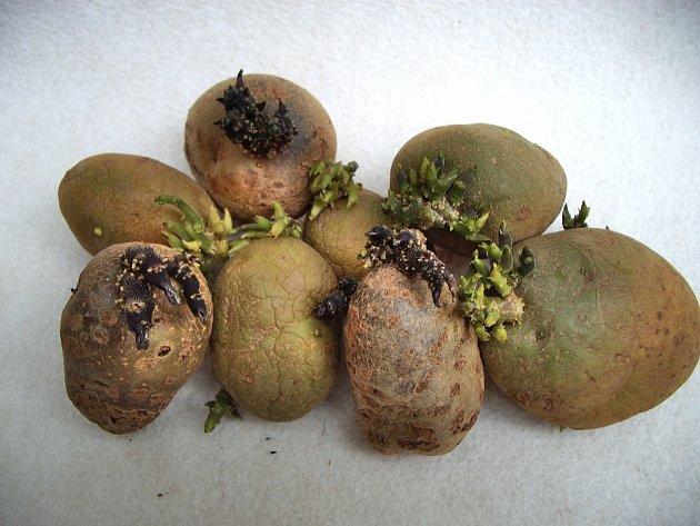 Správně naklíčené hlízy brambor