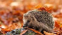 Přichystejte ježkům úkryt k přezimování