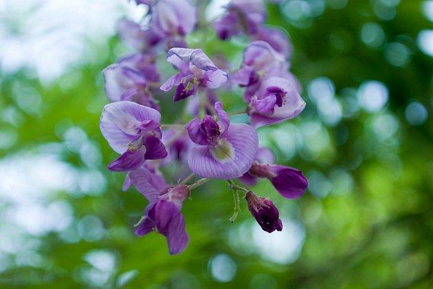 Wisteria floribunda - vistárie květnatá, neboli japonská