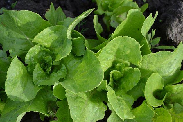Salát je nenáročný na pěstování, protože má mělké kořeny a nevyžaduje příliš úrodnou půdu.