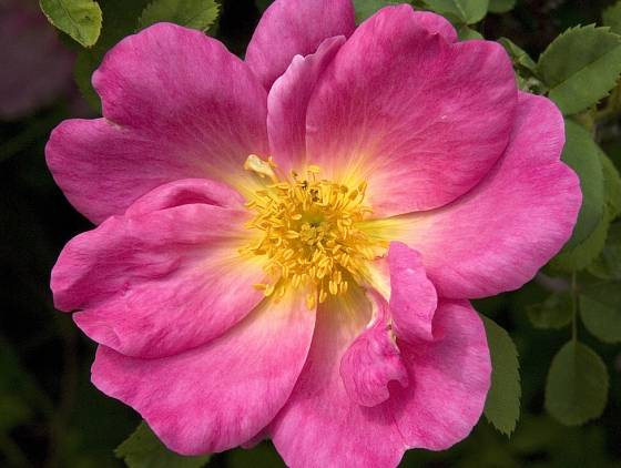 růže Moyesova (Rosa moyesii)