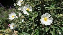 Cist (Cistus) čili růže cistová