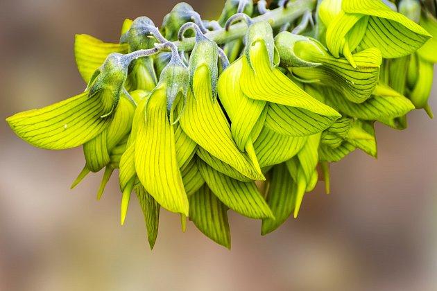Chřestnatec cunninghamii (Crotalaria cunninghamii)