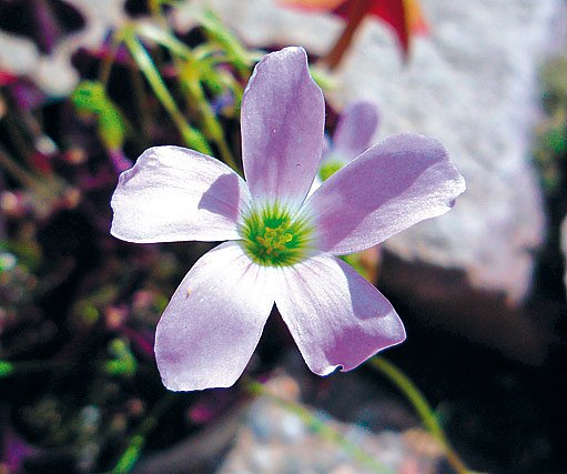 štavel purpurový