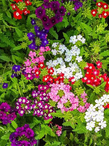 Verbeny nás okouzlují různými barvami svých květů.