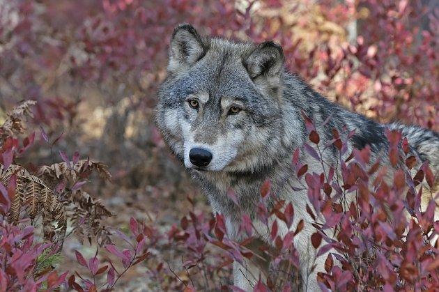 Borůvkami si stravu zpestřují i předci psů, vlci.