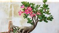 Adenium, pouštní růže