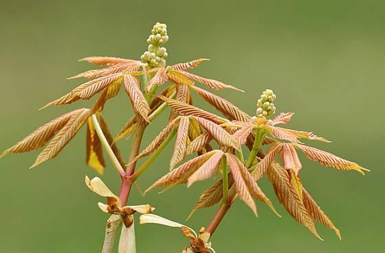 okrasný kaštan, jírovec,  Aesculus flava