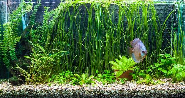 Zeleň v akváriu nesmí chybět