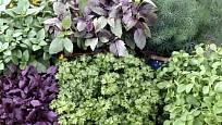 bazalka, petrželka, kopr a majoránka