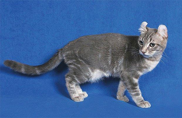 americká kadeřavá kočka