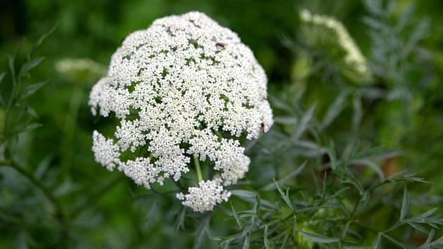 Květenství mrkve se vyvíjí až druhým rokem pěstování