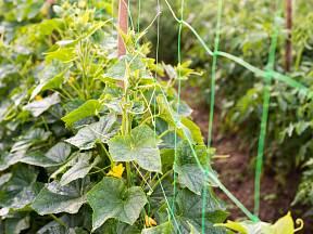 Okurky pěstované na síti.