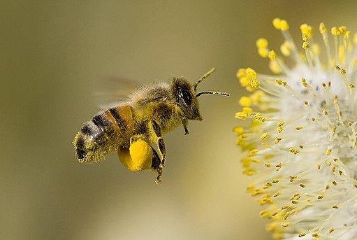 pyl ukládají včely na zadním páru nohou