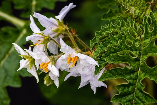 Květy liči rajčátek mají hvězdicovitý tvar s výraznými žlutými tyčinkami.