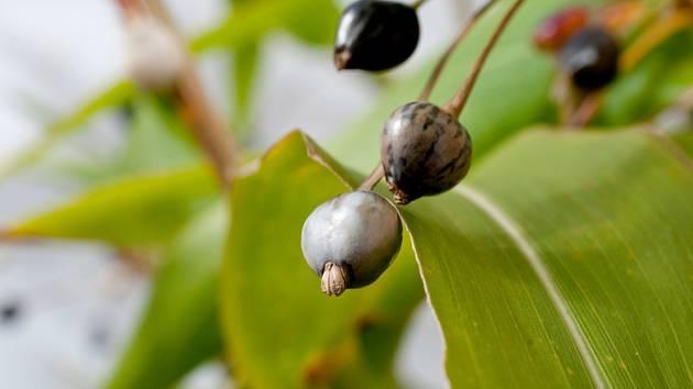 Semena slzovky jsou hodně klíčivá.