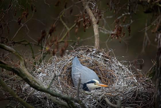 Volavka popelavá sedí na vejcích ve svém proutěném hnízdě.