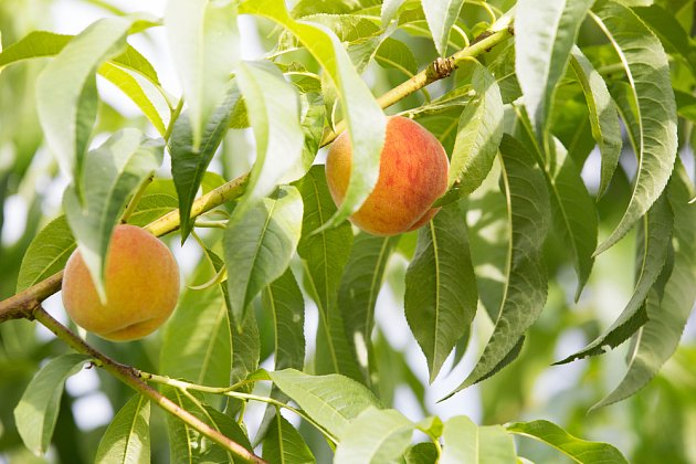 Zdravé stromy rodí zdravé plody.
