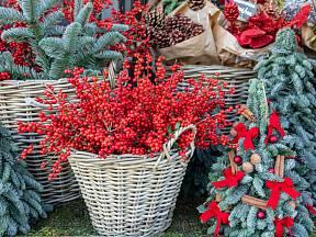 Cesmína přeslenitá se využívá pro vánoční aranžmá.