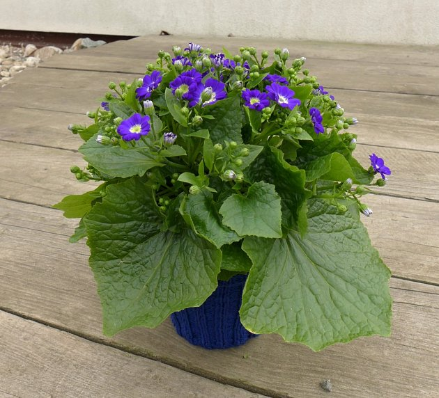 Cinerárie je bohatě kvetoucí krátkověká rostlina.